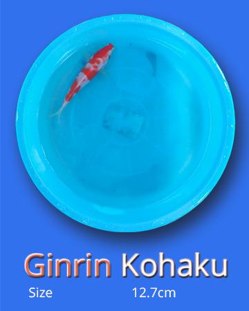 Ginrin Kohaku (10 Fish)