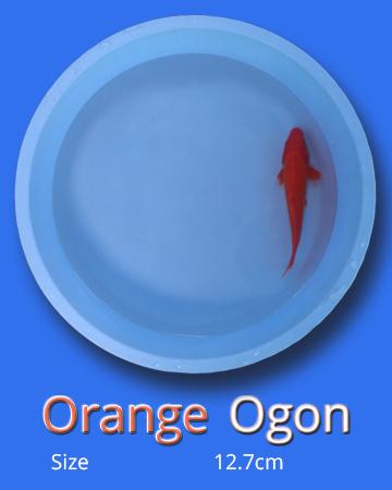 Orange Ogon (10 Fish)